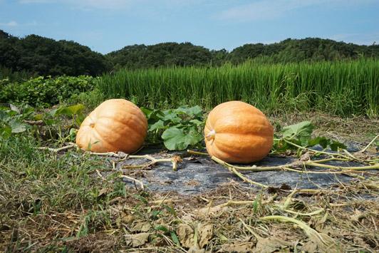 pumpkins01