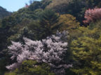 有馬温泉 桜便り2021 その6